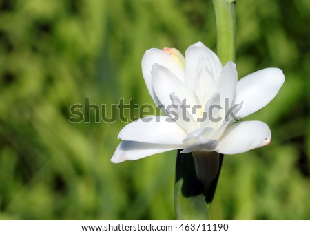 close-up with tuberose flower bloomed