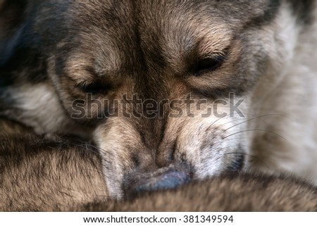 Close up wolf face, Wolf cleaning itself.