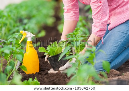 Close up Woman farmer planting salad seedlings with yellow  spray bottle and gloves