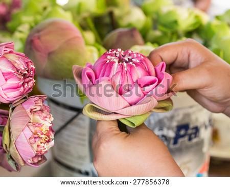 close up woman folding petal pink lotus for pray Buddha in thai culture - stock photo