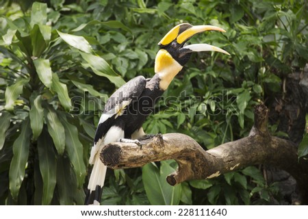 Close up Wreathed Hornbill stand on the branch  - stock photo
