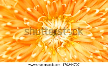Close up yellow chrysanthemum isolated
