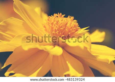 Close up yellow Cosmos flowers beautiful and specs of pollen. with retro color style