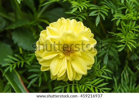 Close-up Yellow Dahlia flower in garden.