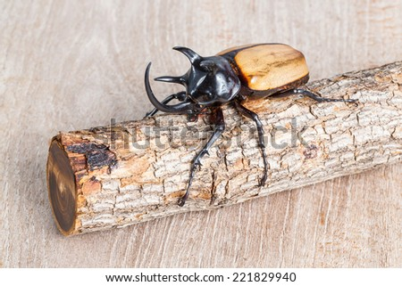 Close up yellow five horned beetle with small log on wooden table