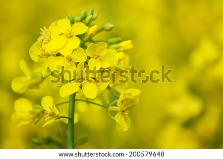close up yellow green  rapeseed flower - stock photo