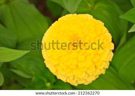 Close up yellow Zinnia elegans blooming in garden. - stock photo