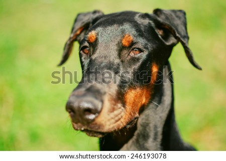 Close Up Young, Beautiful, Black And Tan Doberman Is A Breed Known For Being Intelligent, Alert, And Loyal Companion Dogs. - stock photo