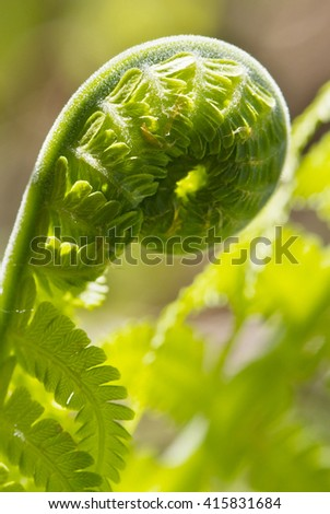 close up young leaf of fern Matteuccia struthiopteris