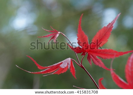 close up young red leaves of maple Acer palmatum