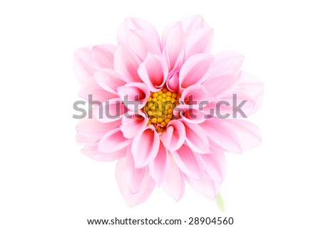 close-ups of pink dahlia isolated on white - flowers and plants
