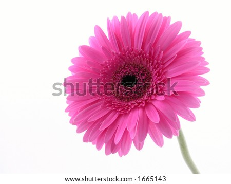 close-ups of pretty pink gerbera isolated on white