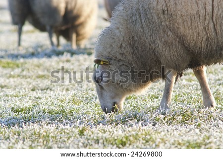 Close view. A sheep is having grass.