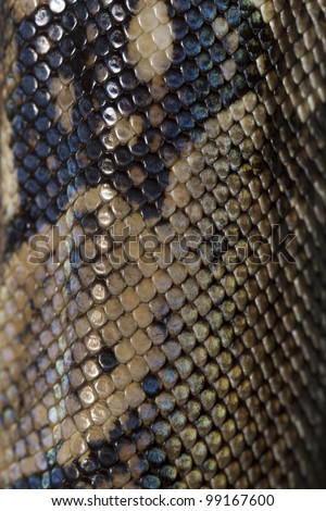 Close view of a beautiful skin texture of a boa constrictor. - stock photo