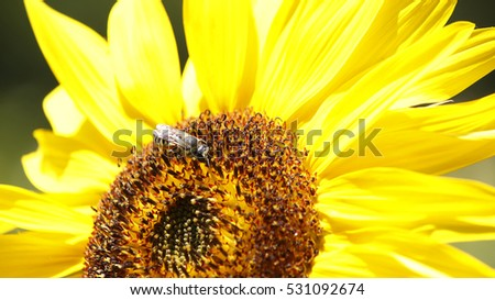 Close view of a bee on a sunflower a sunny day
