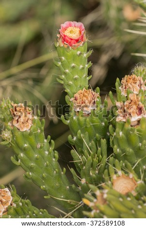 Close view of a blooming Cane cholla cactus (Cylindropuntia imbricata). - stock photo