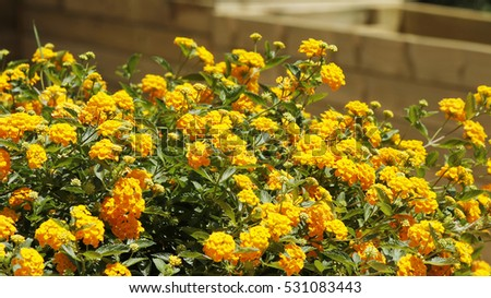 Close view of a bush with orange lantana camara flowers