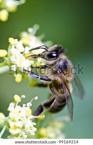 Close view of a honey bee on top of a flower. - stock photo