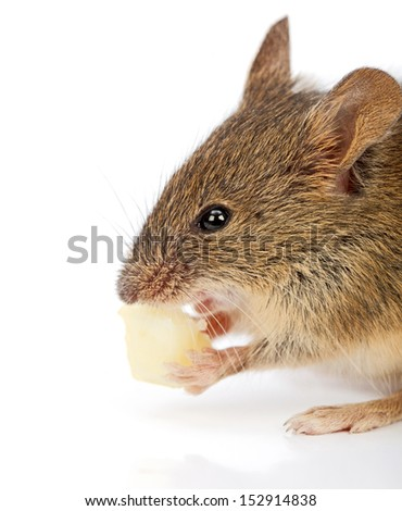 Close view of a house mouse eating piece of cheese (Mus musculus)