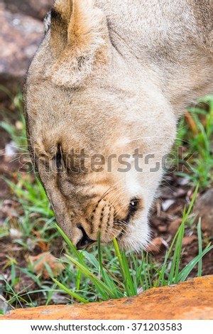 Close view of a lioness in Zimbabwe, Africa