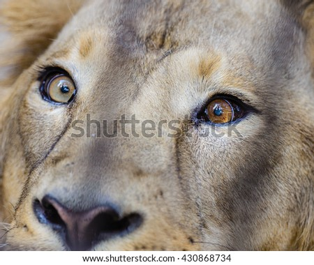 Close view of a male Lion Eyes - stock photo