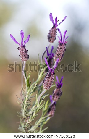 Close view of a purple lavender flower on the wild. - stock photo
