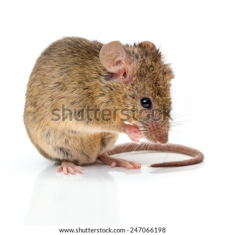 Close view of a tiny house mouse (Mus musculus) cleaning himself - stock photo