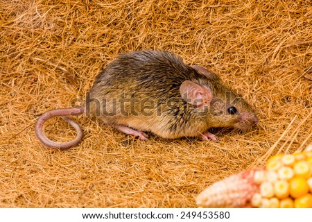 Close view of a tiny house mouse (Mus musculus) running - stock photo