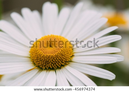 Close View Of Chamomile Or Matricaria, One Beautiful Blooming Garden Decorative Flower With White Petals And Yellow Inflorescence In The Center In Summer Spring. Macro Focus. - stock photo