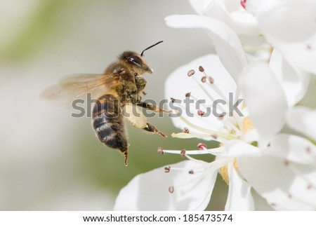 close view of flying bee pollinating a flower - stock photo
