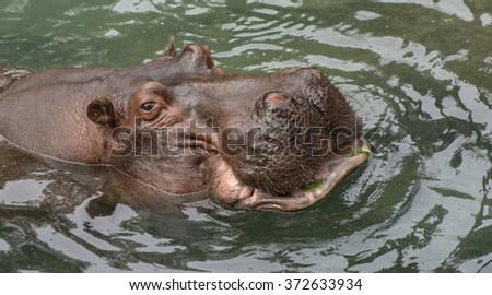 Close view of hippo in water