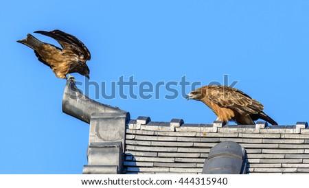 Close view of Japanese Black Kite Bird on a roof of japanese temple in yokohama, japan - stock photo