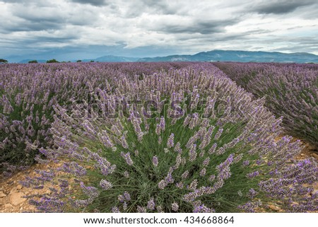 Close view of lavender blossom cluster under the clouded sky of Provence - stock photo