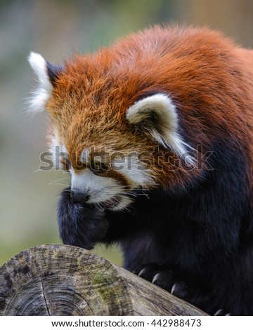 close view of Red Panda lesser panda (Ailurus fulgens) in japan.