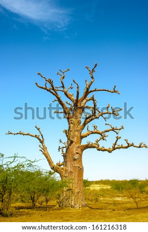Close view of the baobab tree, Africa, Senegal - stock photo