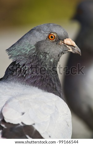 Close view of the head of a city pigeon.