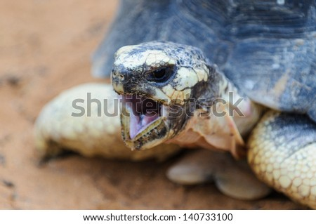 Close view of the Radiated tortoise, Madagascar