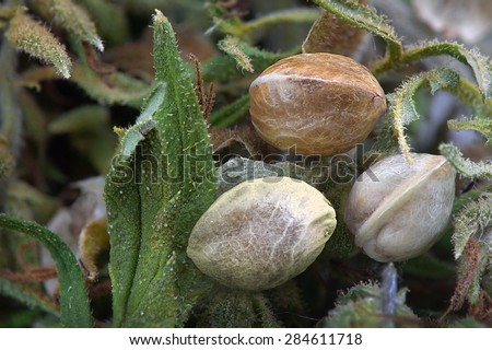Close view of three hemp seeds on  dried cannabis leaves - stock photo