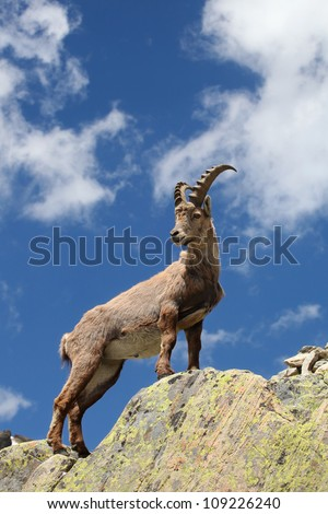 Close view on a young Capra Ibex near the White Lake near Chamonix. - stock photo