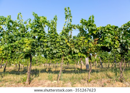 Close view on the grape green plantation