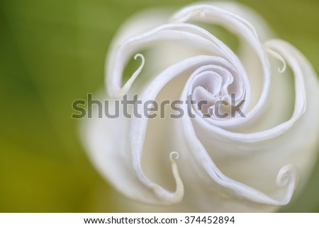 Closed Angels Trumpet Flower Close Up - stock photo