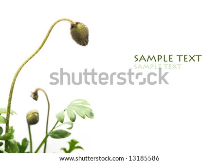 closed poppies against white background