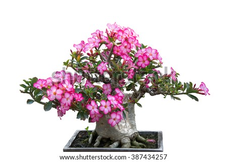 Closed up Adenium or desert rose flower on white background
