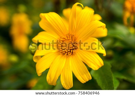 Closed big yellow flower burred green stock photo safe to use closed up big yellow flower and burred green background tree marigold mexican tournesol mightylinksfo