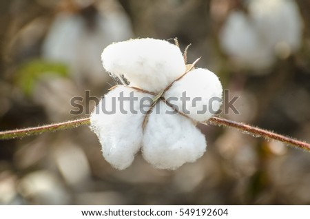 Closed up cotton blossom ready for harvesting,cotton tree