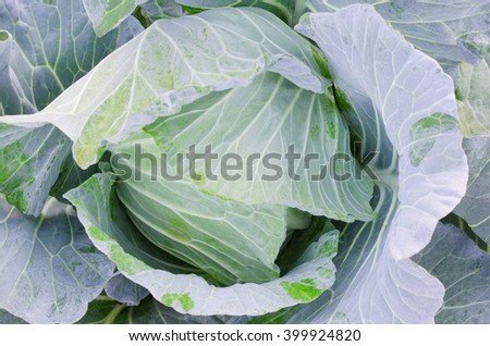 Closed up fresh cabbage