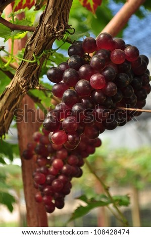Closed up grape in grape yard Thailand - stock photo