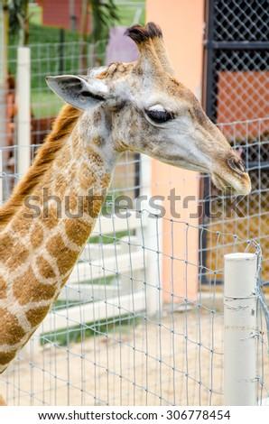 Closed up Head of Giraffe - stock photo