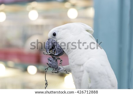 Closed up of a sulphur crested cockatoo - stock photo