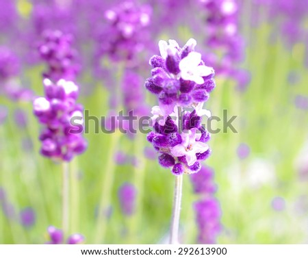 Closed up of English Lavender in Sunny Garden, Selective Focus, Blur Background, Spring and Summer Concept [Vivid Collection] - stock photo